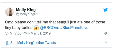 Twitter post by @MollyKing01: Omg please don't tell me that seagull just ate one of those tiny baby turtles 😱 @BBCOne #BluePlanetLive