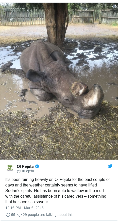 Twitter post by @OlPejeta: It's been raining heavily on Ol Pejeta for the past couple of days and the weather certainly seems to have lifted Sudan's spirits. He has been able to wallow in the mud - with the careful assistance of his caregivers – something that he seems to savour.