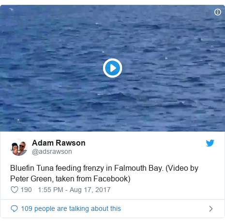 Twitter post by @adsrawson: Bluefin Tuna feeding frenzy in Falmouth Bay. (Video by Peter Green, taken from Facebook)