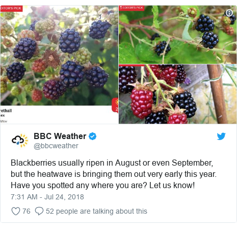 Twitter post by @bbcweather: Blackberries usually ripen in August or even September, but the heatwave is bringing them out very early this year. Have you spotted any where you are? Let us know!