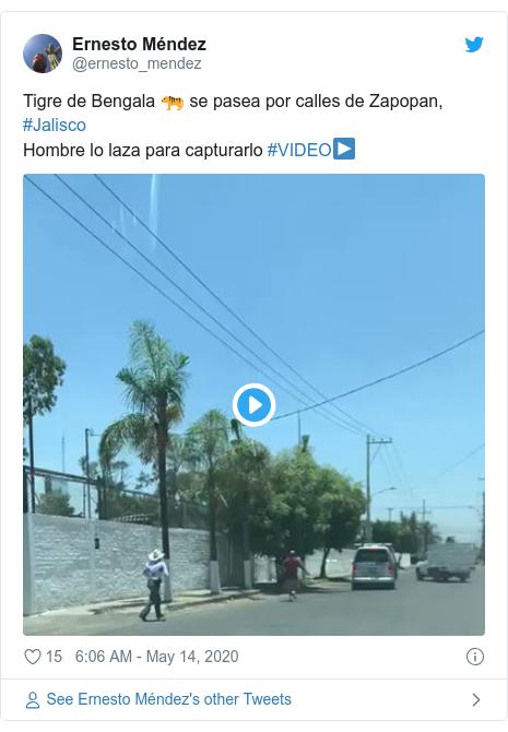 Twitter post by @ernesto_mendez: Tigre de Bengala 🐅 se pasea por calles de Zapopan, #JaliscoHombre lo laza para capturarlo #VIDEO▶️