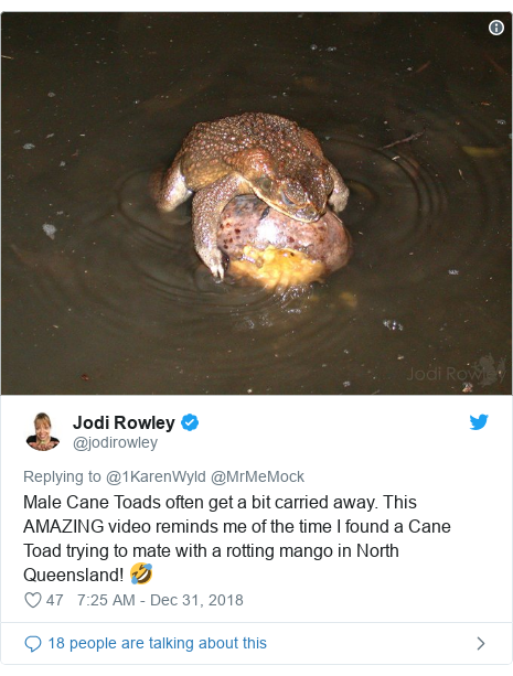 Twitter post by @jodirowley: Male Cane Toads often get a bit carried away. This AMAZING video reminds me of the time I found a Cane Toad trying to mate with a rotting mango in North Queensland! 🤣
