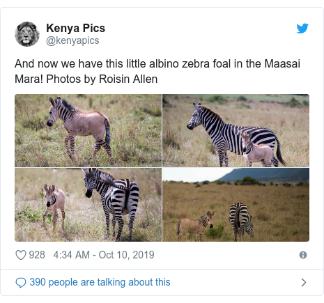 Ujumbe wa Twitter wa @kenyapics: And now we have this little albino zebra foal in the Maasai Mara! Photos by Roisin Allen