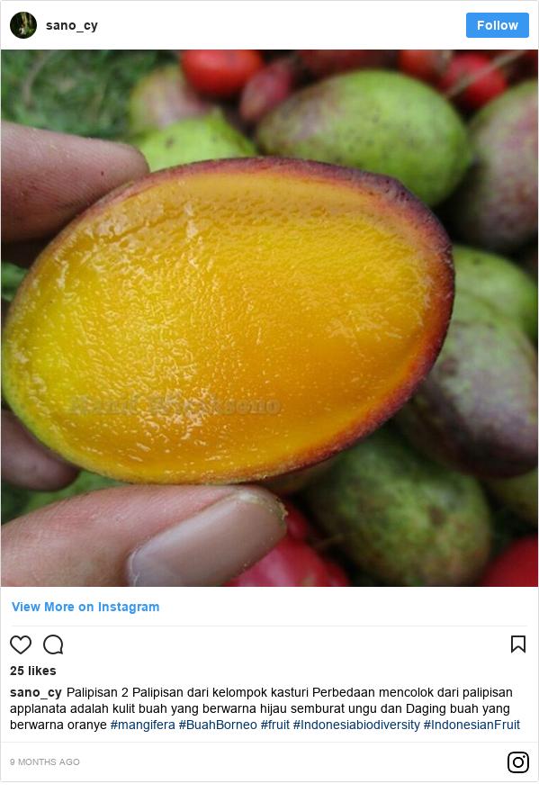 Instagram pesan oleh sano_cy: Palipisan 2  Palipisan dari kelompok kasturi Perbedaan mencolok dari palipisan applanata adalah kulit buah yang berwarna hijau semburat ungu dan Daging buah yang berwarna  oranye  #mangifera #BuahBorneo #fruit #Indonesiabiodiversity #IndonesianFruit