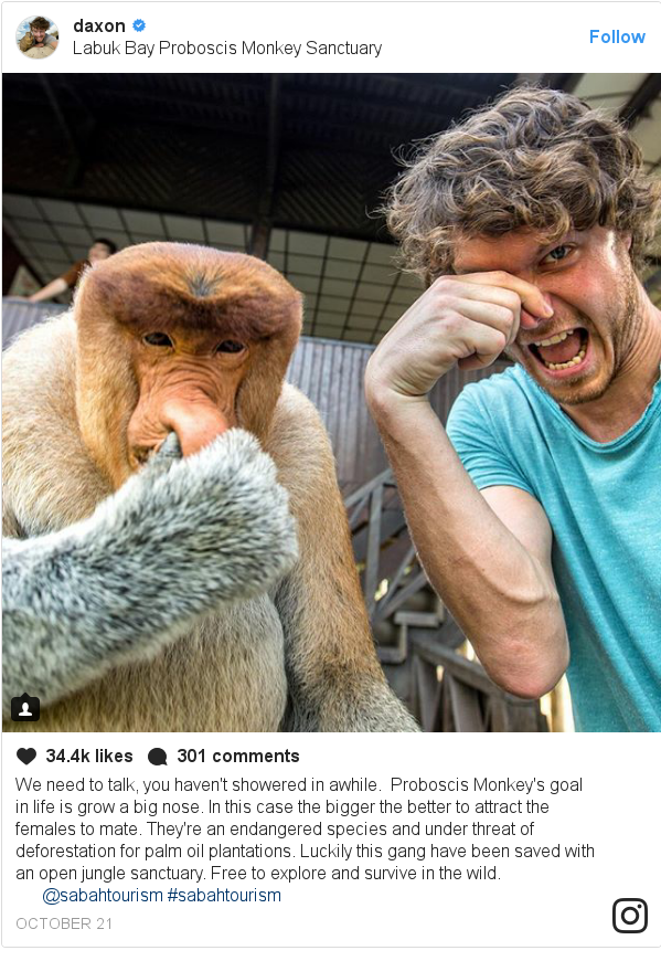 Instagram pesan oleh daxon: We need to talk, you haven't showered in awhile. 🚿 Proboscis Monkey's goal in life is grow a big nose. In this case the bigger the better to attract the females to mate. They're an endangered species and under threat of deforestation for palm oil plantations. Luckily this gang have been saved with an open jungle sanctuary. Free to explore and survive in the wild. 🌱🐒@sabahtourism #sabahtourism