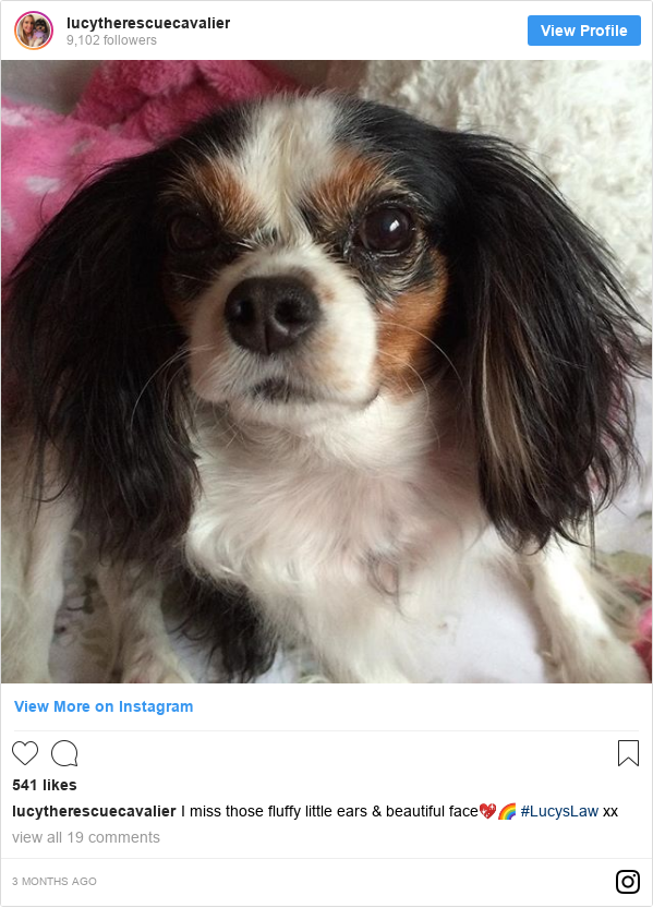 Instagram post by lucytherescuecavalier: I miss those fluffy little ears & beautiful face💖🌈 #LucysLaw xx