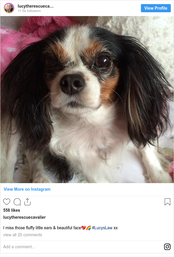 Instagram post de lucytherescuecavalier: I miss those fluffy little ears & beautiful face💖🌈 #LucysLaw xx