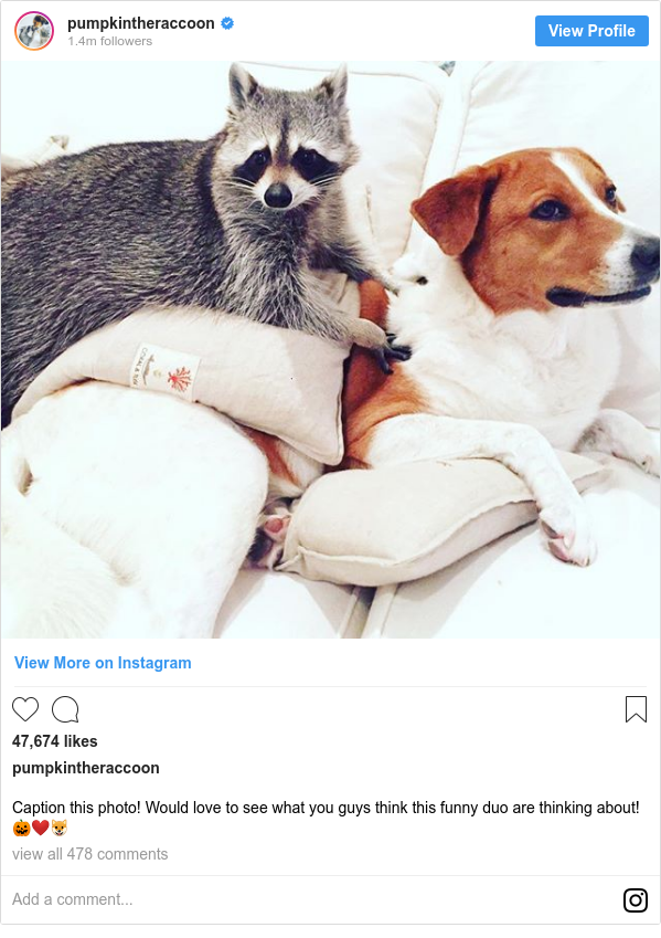 Instagram пост, автор: pumpkintheraccoon: Caption this photo! Would love to see what you guys think this funny duo are thinking about! 🎃❤️🐶