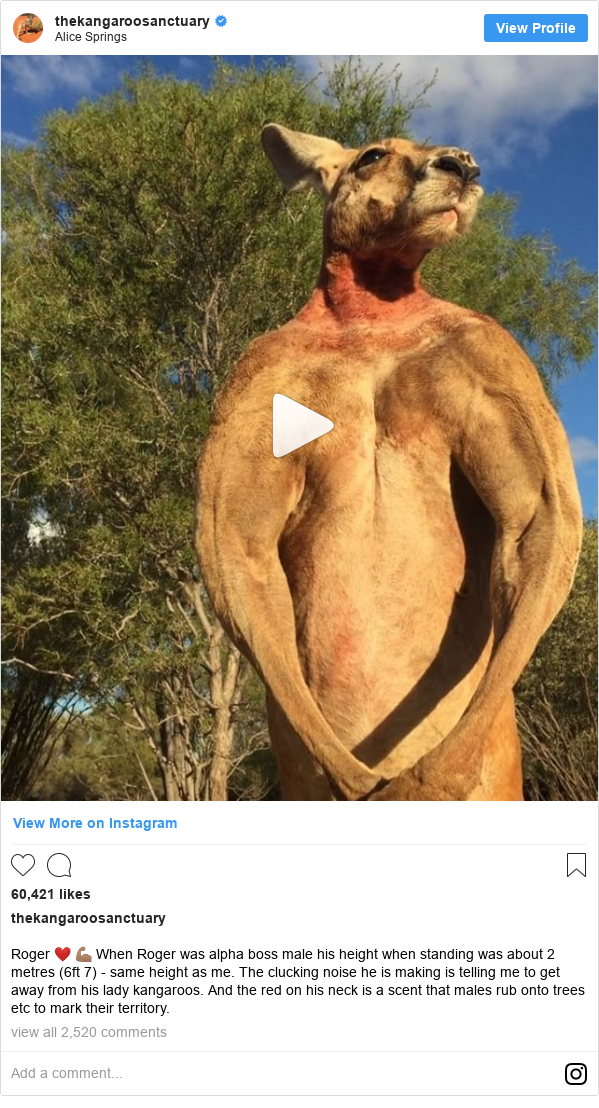 Instagram пост, автор: thekangaroosanctuary: Roger ❤️ 💪🏽 When Roger was alpha boss male his height when standing was about 2 metres (6ft 7) - same height as me. The clucking noise he is making is telling me to get away from his lady kangaroos. And the red on his neck is a scent that males rub onto trees etc to mark their territory.