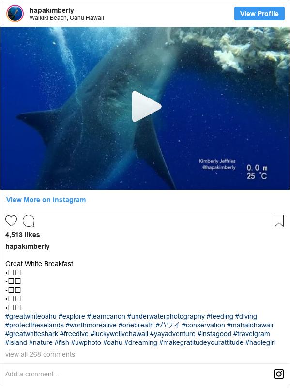 Instagram post by kimberlyswimberly: Great White Breakfast •⠀⠀ •⠀⠀ •⠀⠀ •⠀⠀ •⠀⠀ #greatwhiteoahu #explore #teamcanon #underwaterphotography #feeding #diving #protecttheselands #worthmorealive #onebreath #ハワイ #conservation #mahalohawaii #greatwhiteshark #freedive #luckywelivehawaii #yayadventure #instagood #travelgram #island #nature #fish #uwphoto #oahu #dreaming  #makegratitudeyourattitude #haolegirl