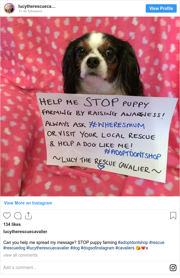 Instagram post by lucytherescuecavalier: Can you help me spread my message? STOP puppy farming #adoptdontshop #rescue #rescuedog #lucytherescuecavalier #dog #dogsofinstagram #cavaliers 😘💗x