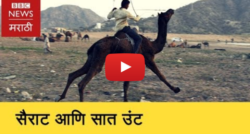 Youtube post by BBC News Marathi: Sairat Fan Names his camels Aarchi and Parsha    सैराट आणि सात उंट (BBC News Marathi)