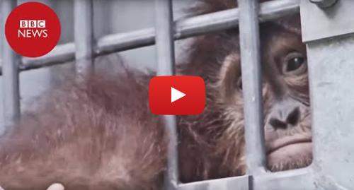 YouTube post de BBC News Brasil: O resgate dos orangotangos mantidos como animais de estimação na Indonésia