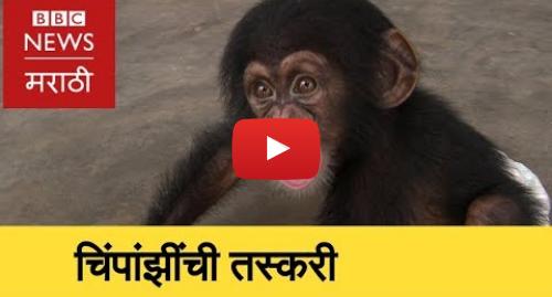 Youtube post by BBC News Marathi: Exposed  Chimpanzee Smuggling । चिंपांझी तस्करीमागचं सत्य (BBC News Marathi)