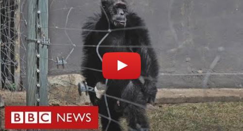 YouTube post de BBC News Brasil: Os chimpanzés que caminham como humanos após anos de maus-tratos