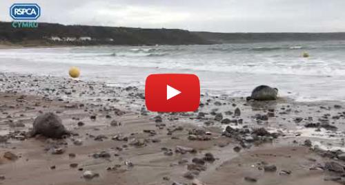 Youtube post by RSPCA Cymru: RSPCA Cymru  Seal pup release - Port Eynon, December 2019