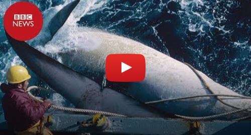 YouTube post de BBC News Brasil: Japão caça baleias pela 1ª vez em 30 anos após fim de proibição