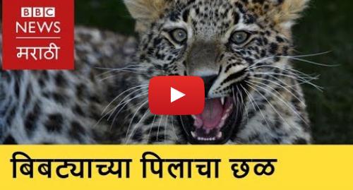 Youtube post by BBC News Marathi: Leopard Killed in Gondiya । गोंदिया  बिबट्याच्या पिलाचा छळ आणि मृत्यू (BBC News Marathi)