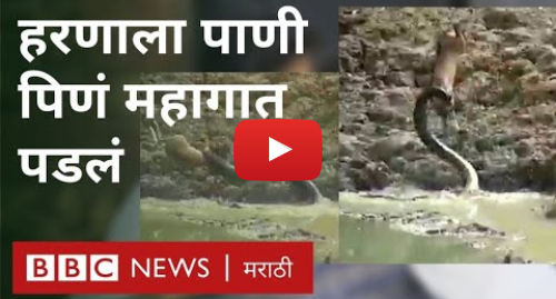 Youtube post by BBC News Marathi: व्हायरल व्हीडिओ   चंद्रपूरच्या जंगलातील हरीण - अजगराचा थरार | Viral video   When Python attacks Deer