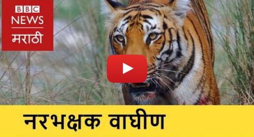 Youtube post by BBC News Marathi: Maneater Tigress in Yavatmal। यवतमाळमधील नरभक्षक वाघीण (BBC News Marathi)