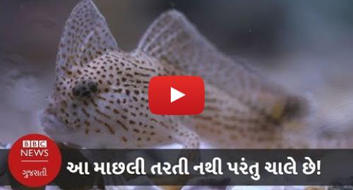 Youtube post by BBC News Gujarati: આ માછલી તરતી નથી પરંતુ ચાલે છે! (બીબીસી ન્યૂઝ ગુજરાતી)
