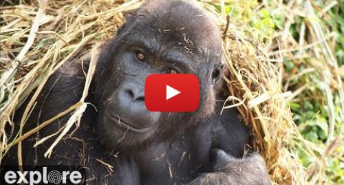 YouTube post de Explore Africa: GRACE Gorilla Forest Corridor Cam