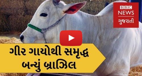 Youtube post by BBC News Gujarati: બ્રાઝિલમાં ગીરની ગાયોનો ઇતિહાસ. The Brazillian Cow with a Gujarati connection (BBC News Gujarati)