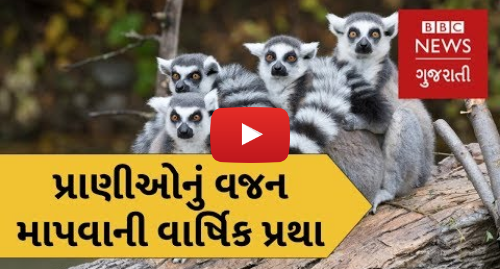 Youtube post by BBC News Gujarati: પ્રાણીઓ માટે ચેક-અપ! Whipsnade Zoo   Where Animals get an annual weight check up (BBC News Gujarati)