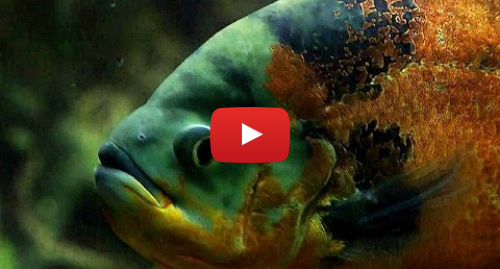 Publicación de Youtube por BBC News Mundo: La titánica labor de trasladar 2.500 peces de un acuario