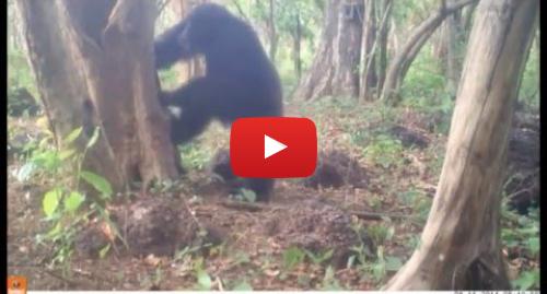 Yutube โพสต์โดย MaxPlanckSociety: Why do chimpanzees throw stones at trees?