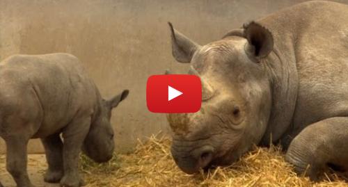 Publicación de Youtube por BBC News Mundo: Protegen a los rinocerontes negros vigilando sus excrementos