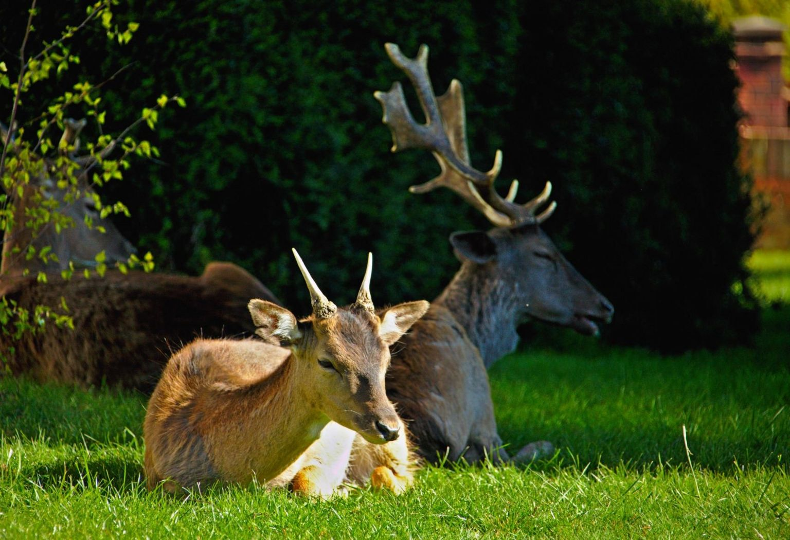 Deer rest on a housing estate