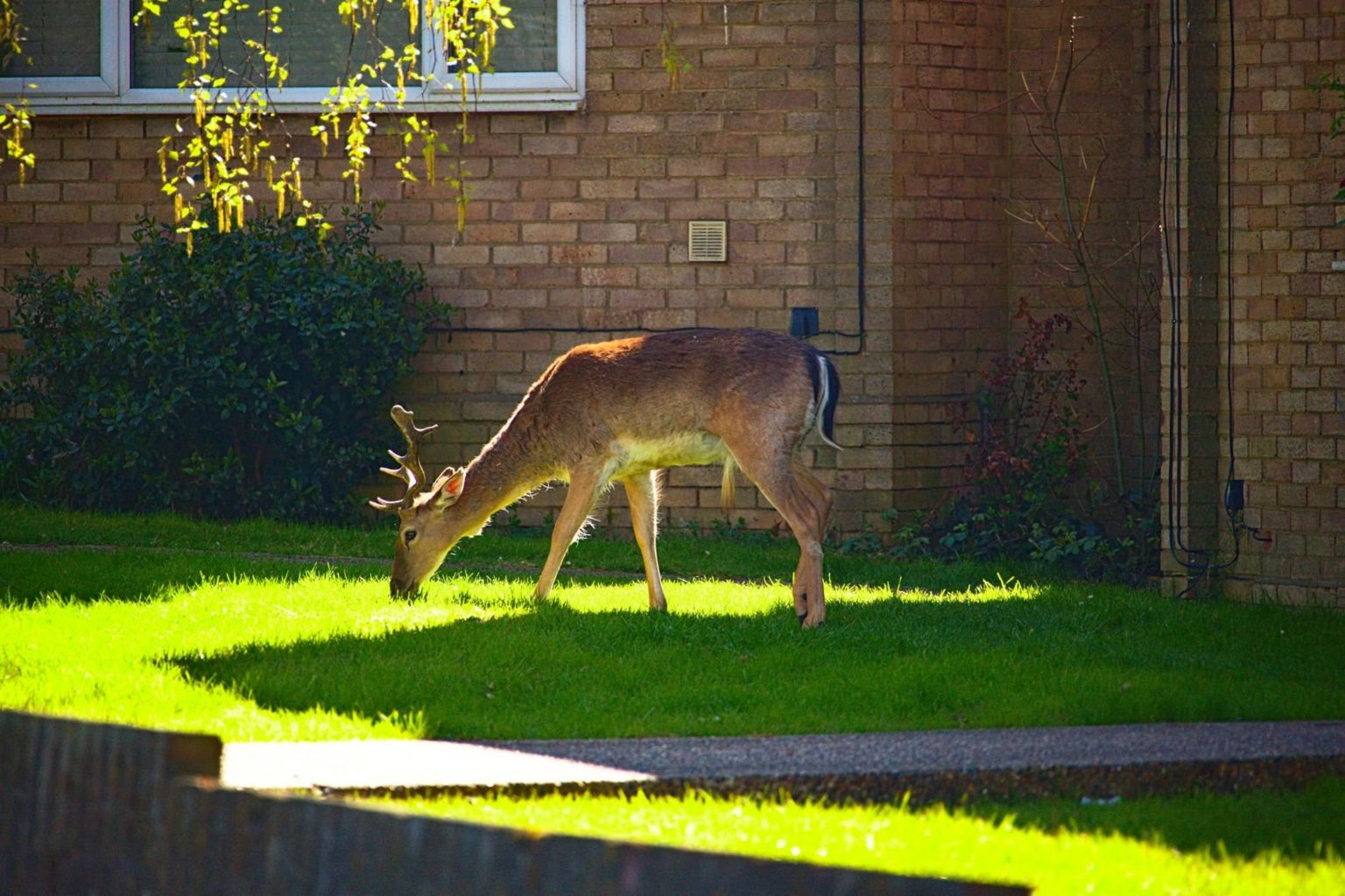 Deer grazes on a housing estate