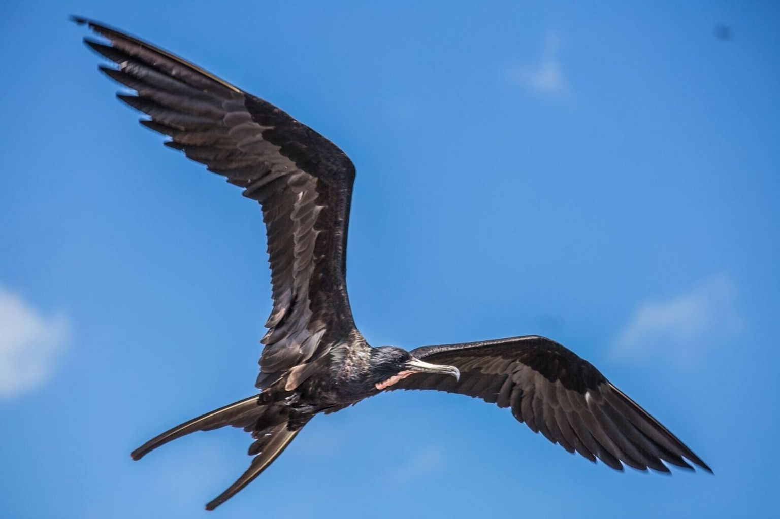 A frigatebird in flight