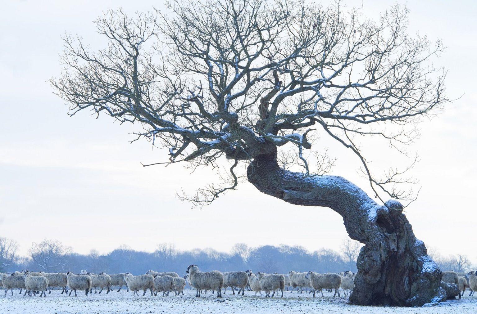 Snowy Sheep at Blenheim Palace