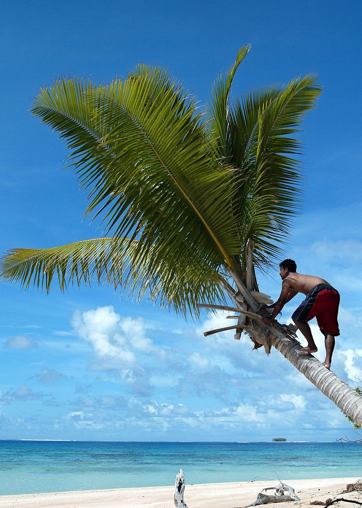 Man climbing palm tree in Tuvalu