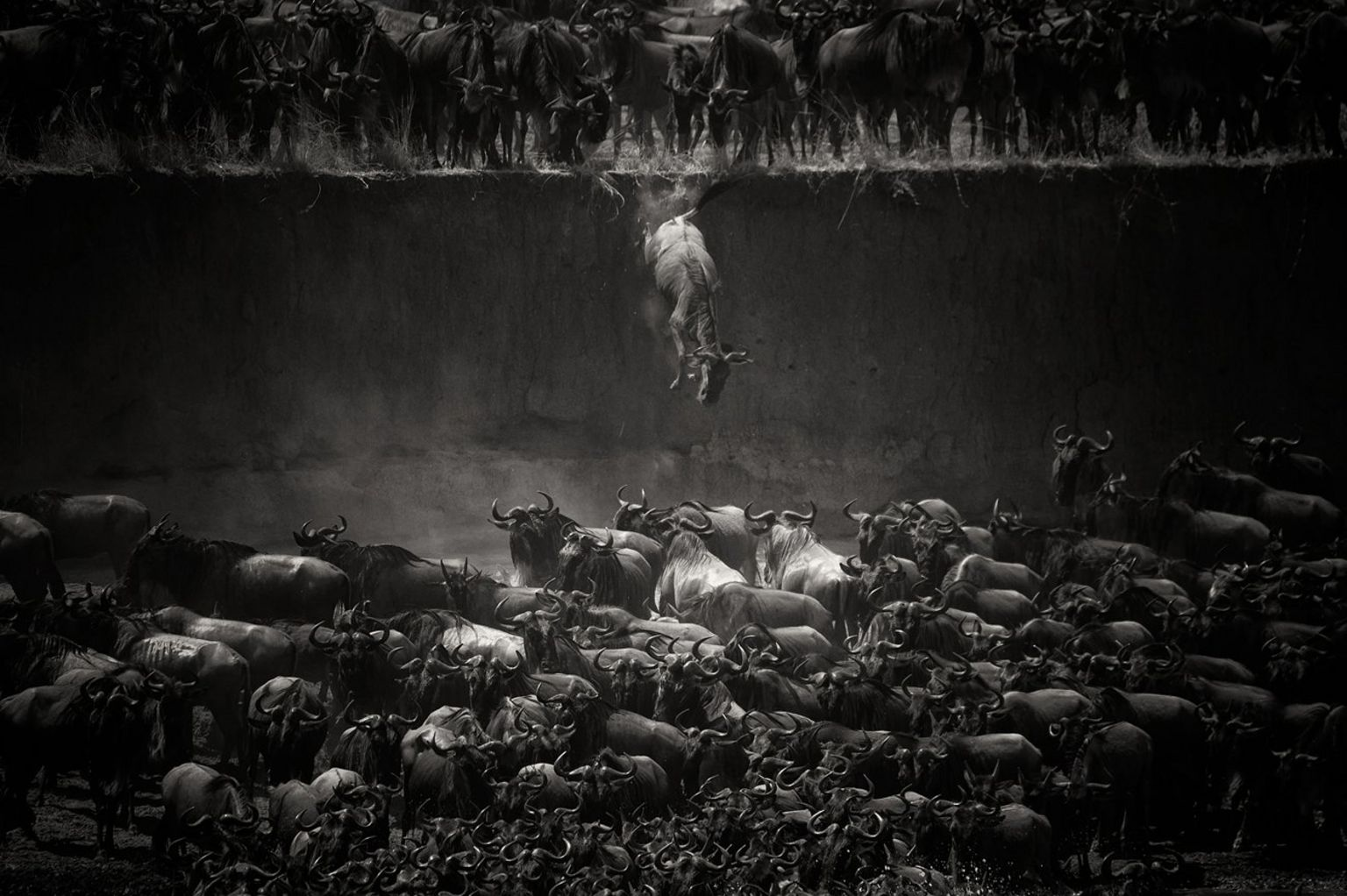 Wildebeest - Mara river, North Serengeti