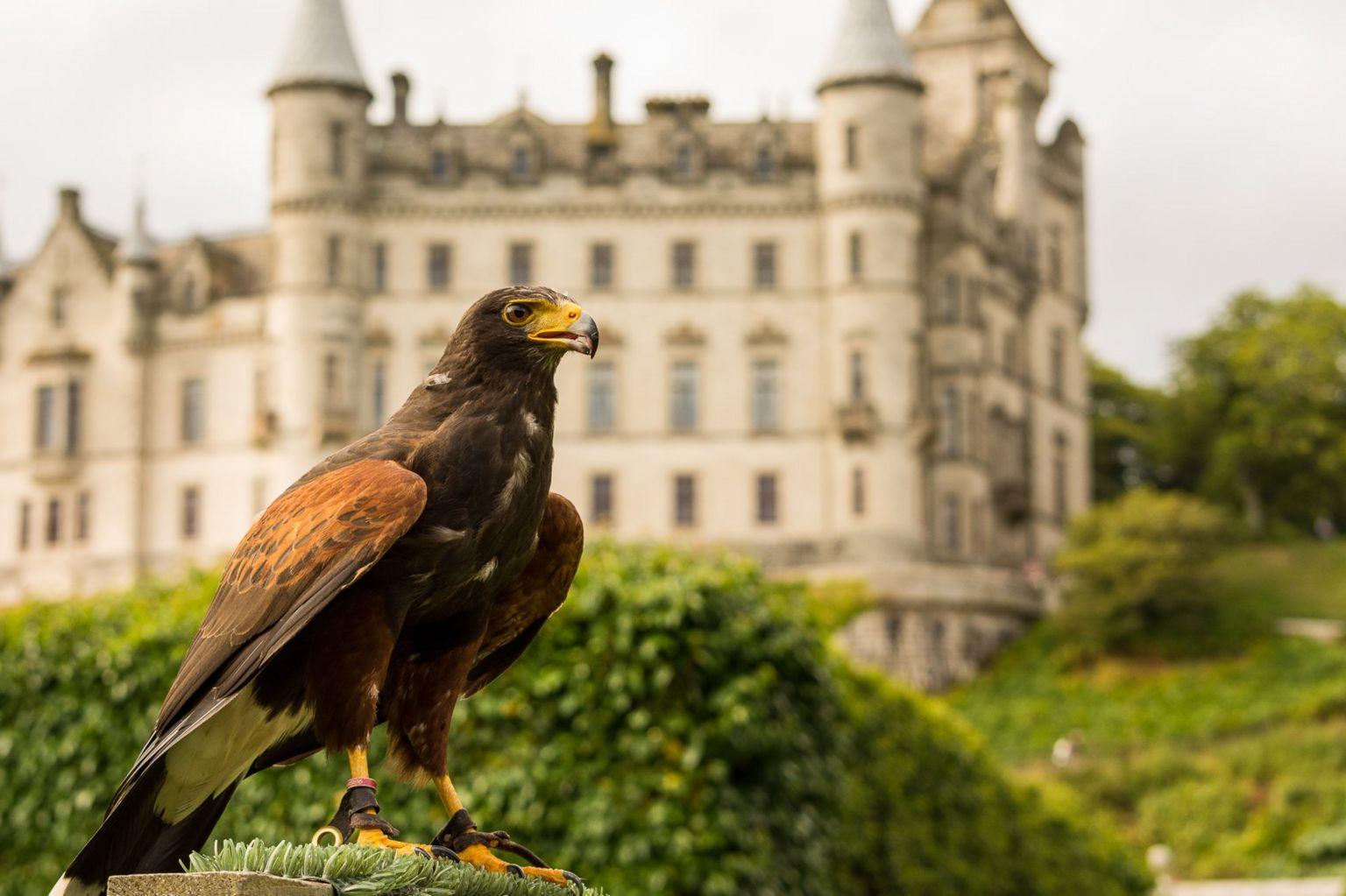 Harris Hawk at Dunrobin Castle