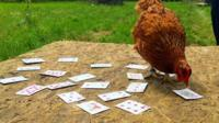 Chicken doing card trick