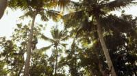Men climbing coconut trees