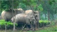 Elephants in tea gardens in Assam