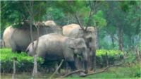 Elephants in tea gardens in Assam