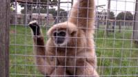 Ben the gibbon, Hamerton Zoo Park