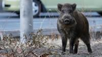 Wild boar in evacuated Fukushima, Japan
