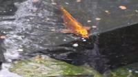 Koi carp in pond at Castle Park, Colchester