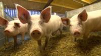 Sows at farm near Burton on Trent