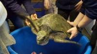 Menai the sea turtle
