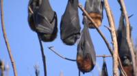 Grey-headed flying foxes hanging upside down