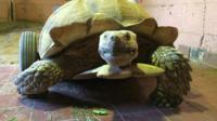 Bert the tortoise who has wheels to help him move