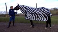 Horse wearing zebra coat with trainer